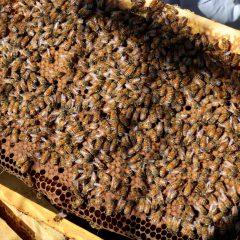 露地のブルーベリー畑に西洋蜜蜂が入りました