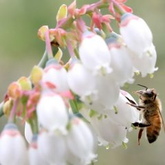 ミツバチによる受粉