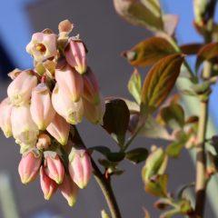 露地のブルーベリー畑にも春の気配が